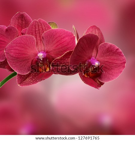 pink orchid flower close-up isolated on white - stock photo