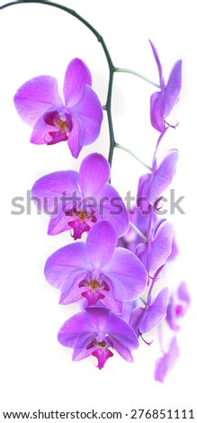 pink orchid flower isolated on white background  - stock photo