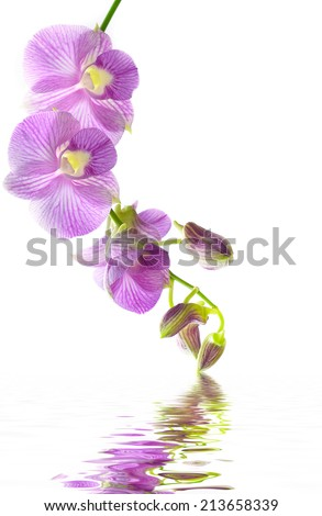 pink orchid flower isolated on white background with a reflection in water.  - stock photo