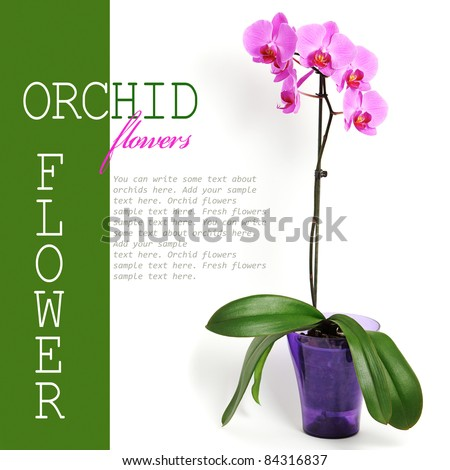 Pink orchid flower isolated white background (with sample text)
