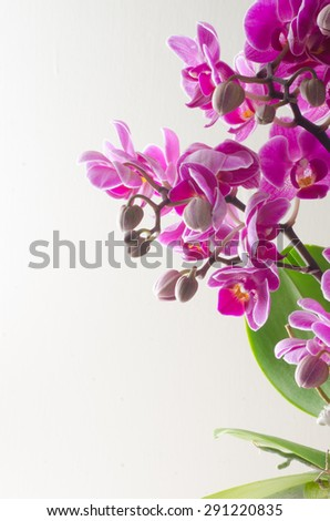 pink orchid flowers and buds - stock photo