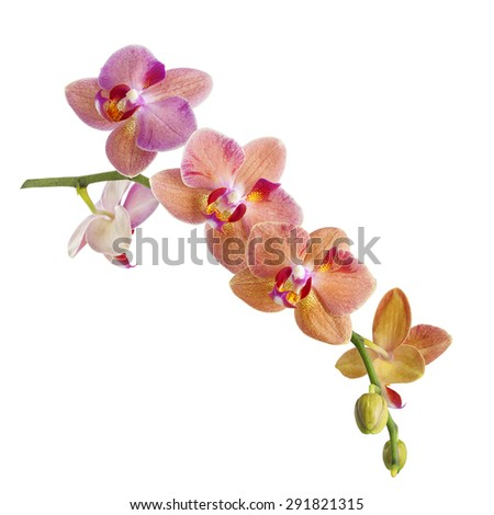 pink orchid flowers branch isolated on white background - stock photo