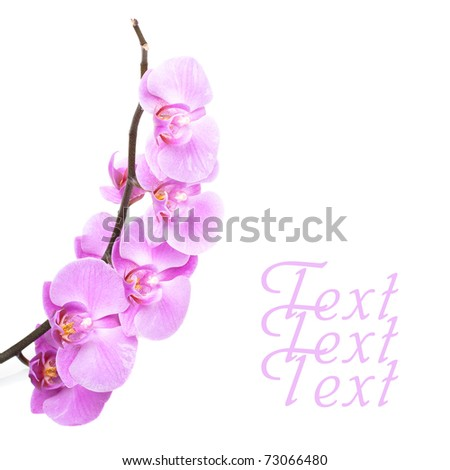 Pink orchid flowers on white - stock photo