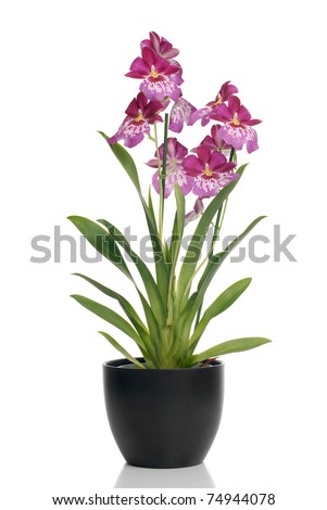 Pink orchid in a pot on white background with shadow reflection. - stock photo