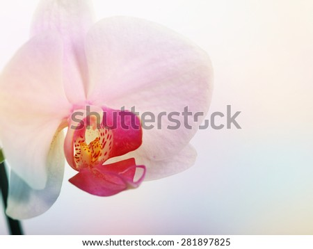 pink orchid in delicate tone - stock photo