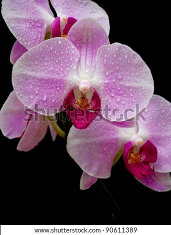 Pink Orchid in drops of dew closeup on black background