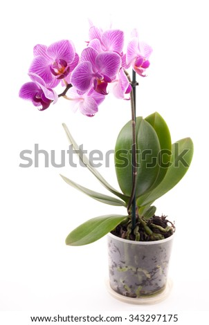 Pink orchid in pot on white background. Image of love and beauty. Natural background and design element.