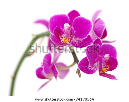 Pink orchid isolated on a white