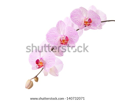 pink orchid isolated on white - stock photo