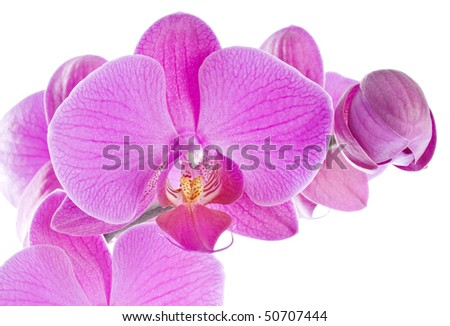 Pink Orchid Isolated on White