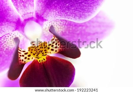 Pink Orchid (macro photo) - stock photo