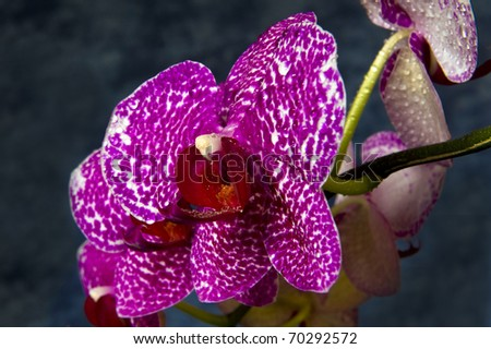 Pink orchid on a dark background - stock photo