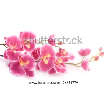Pink orchid on a white background - stock photo