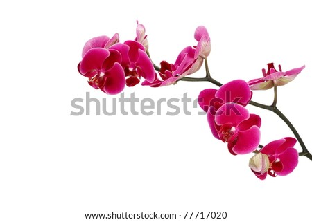 Pink orchid on a white background, isolated 2. - stock photo