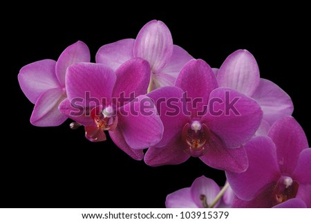 pink orchid on black background - stock photo