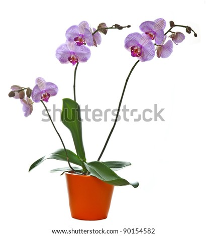 pink orchid phalaenopsis in the flower pot