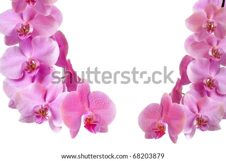 Pink orchid with drop of dew on white background, valentine concept