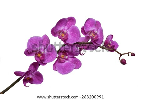 Pink orchid with water drops on white background - stock photo