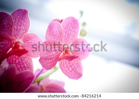 Pink Orchids - stock photo