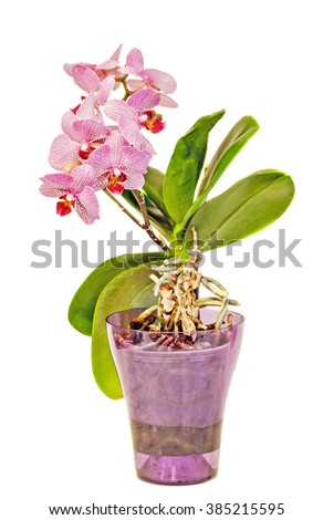 Pink orchids flowers with buds in a mauve vase, Orchidaceae, Phalaenopsis known as the Moth Orchid, abbreviated Phal. White background. - stock photo