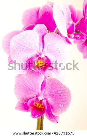 Pink orchids in studio, pink ,amazing flowers,lovely flowers,nature ,fresh flowers ,spring flowers ,colorful ,bloom,purple flowers,stem ,closeup ,macro ,white background ,orchid on white,violet petals - stock photo