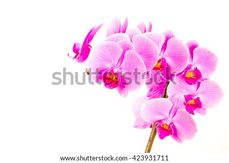 Pink orchids in studio, pink ,amazing flowers,lovely flowers,nature ,fresh flowers ,spring flowers,colorful ,bloom,purple flowers,stem ,closeup ,macro,white background ,orchid on white,tropical flower - stock photo