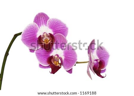 Pink orchids isolated - stock photo