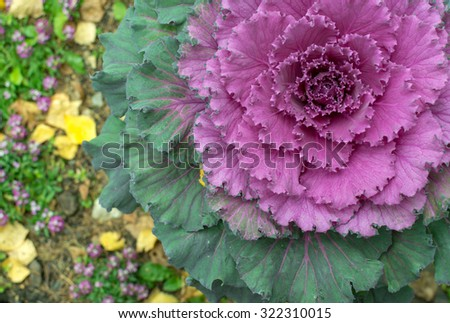 Pink ornamental cabbage plant grows in a spiral with bright vibrant foliage - stock photo