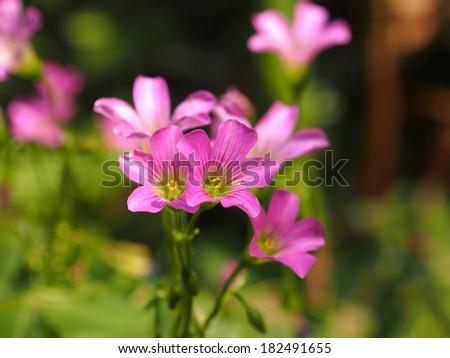 Pink oxalis  - stock photo