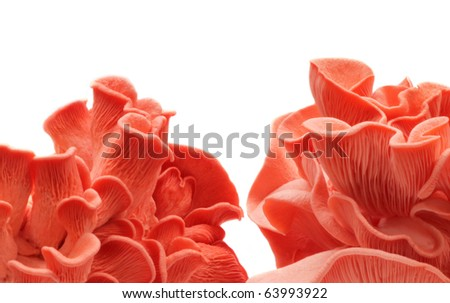 Pink oyster mushrooms over white background - stock photo