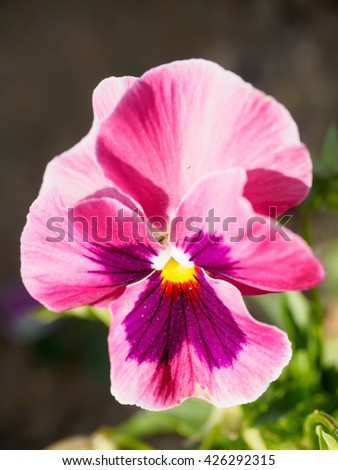 Pink Pansy a beautiful,