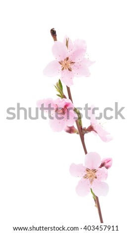 pink peach blossom isolated on white background