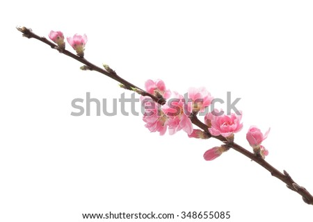 Pink peach blossoms isolated on white background