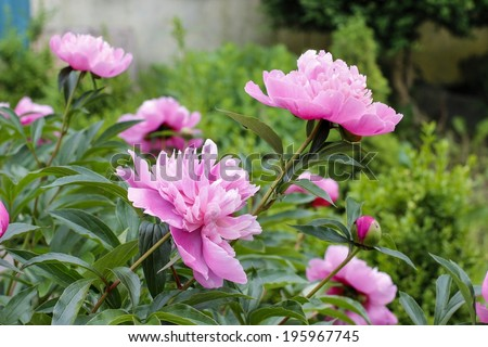 Pink peonies in the garden - stock photo