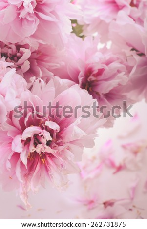 Pink peonies in vase isolated on white - stock photo