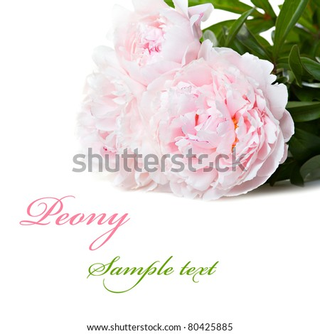 Pink peonies on the white background with space for text. Isolated - stock photo