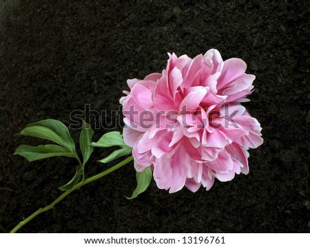 Pink Peony - stock photo