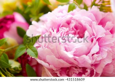 pink peony close up - stock photo
