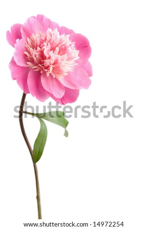 pink peony flower isolated - stock photo