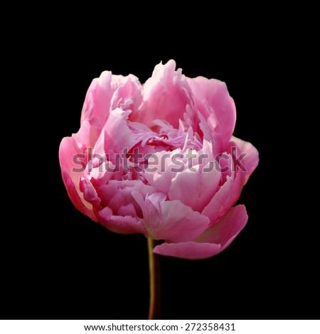 Pink peony flower isolated on black background - stock photo