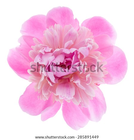 Pink peony flower isolated on white background. Top view. - stock photo