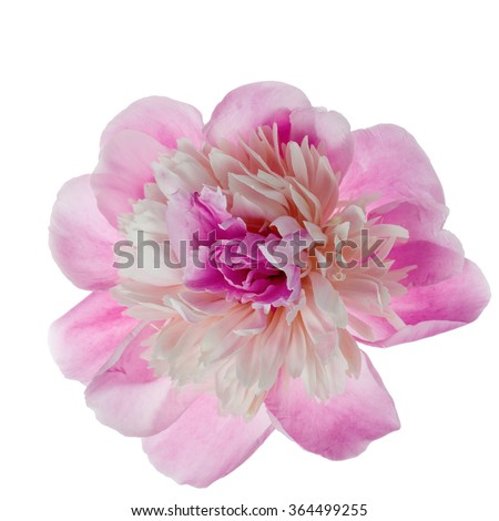 Pink peony flower isolated on white background. Top view.