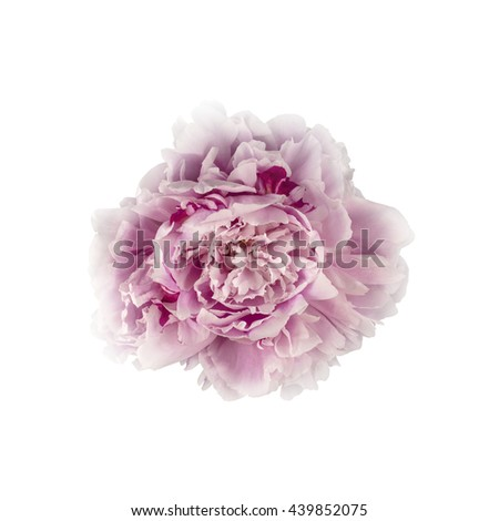 Pink Peony Flower Isolated on White Background (with clipping path) - stock photo