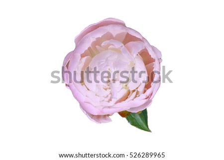 Pink peony flower on white background