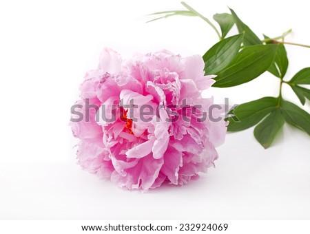 Pink peony flower(Paeonia lactiflora) on a white background  - stock photo