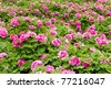 Pink Peony flower (Paeonia suffruticosa) garden in Luoyang, China.Peony in Chinese and is an important symbol in Chinese culture. It is national flower for China. - stock photo