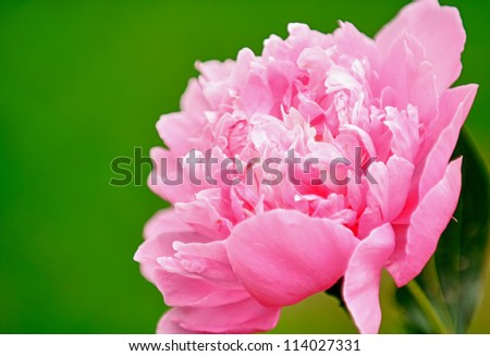 Pink Peony Flower with Copy Space - stock photo