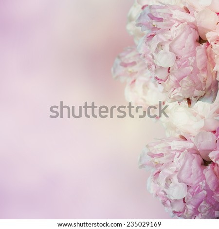 pink peony flowers - stock photo