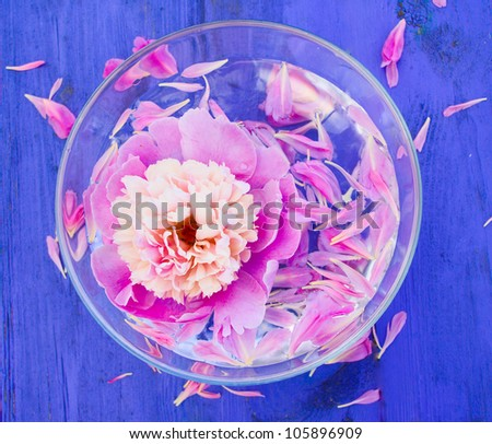 Pink Peony in bowl of water on a blue background - stock photo