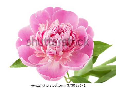 Pink peony with leaves isolated on white background